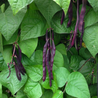 Purple Pod Pole Beans