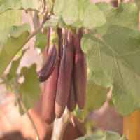 Eeranagere Badane(Purple Short Brinjal)