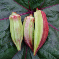 Okra Double Colour